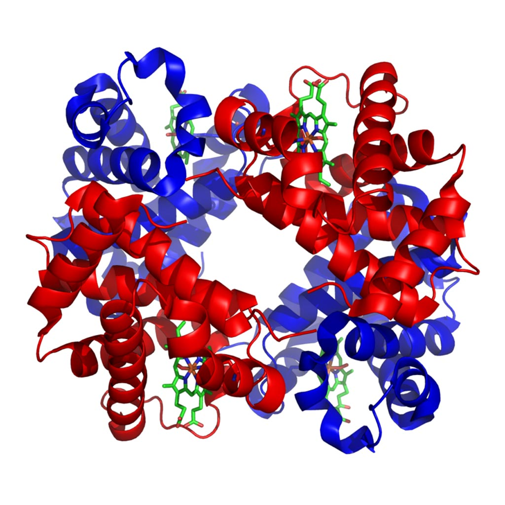 Image: The structure of human hemoglobin with alpha and beta subunits in red and blue, respectively, and the iron-containing heme groups in green (Photo courtesy of Wikimedia Commons).