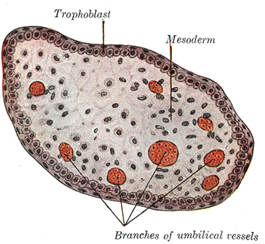 Image: The transverse section of a chorionic villus (Photo courtesy of Wikimedia Commons).
