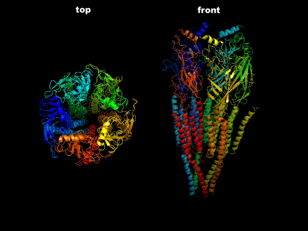 Image: The top and front view of the three-dimensional structure of the pentameric nicotinic acetylcholine receptor, which is damaged or destroyed in myasthenia gravis (Photo courtesy of Wikimedia Commons).