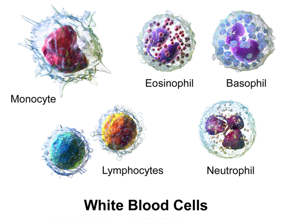 Image: Three-dimensional rendering of various types of white blood cells (Photo courtesy of Wikimedia Commons)