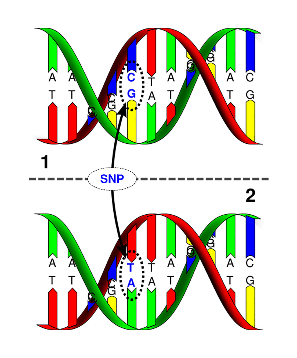 Image: Single nucleotide polymorphism: The upper DNA molecule differs from the lower DNA molecule at a single base-pair location (Photo courtesy of Marshall University).