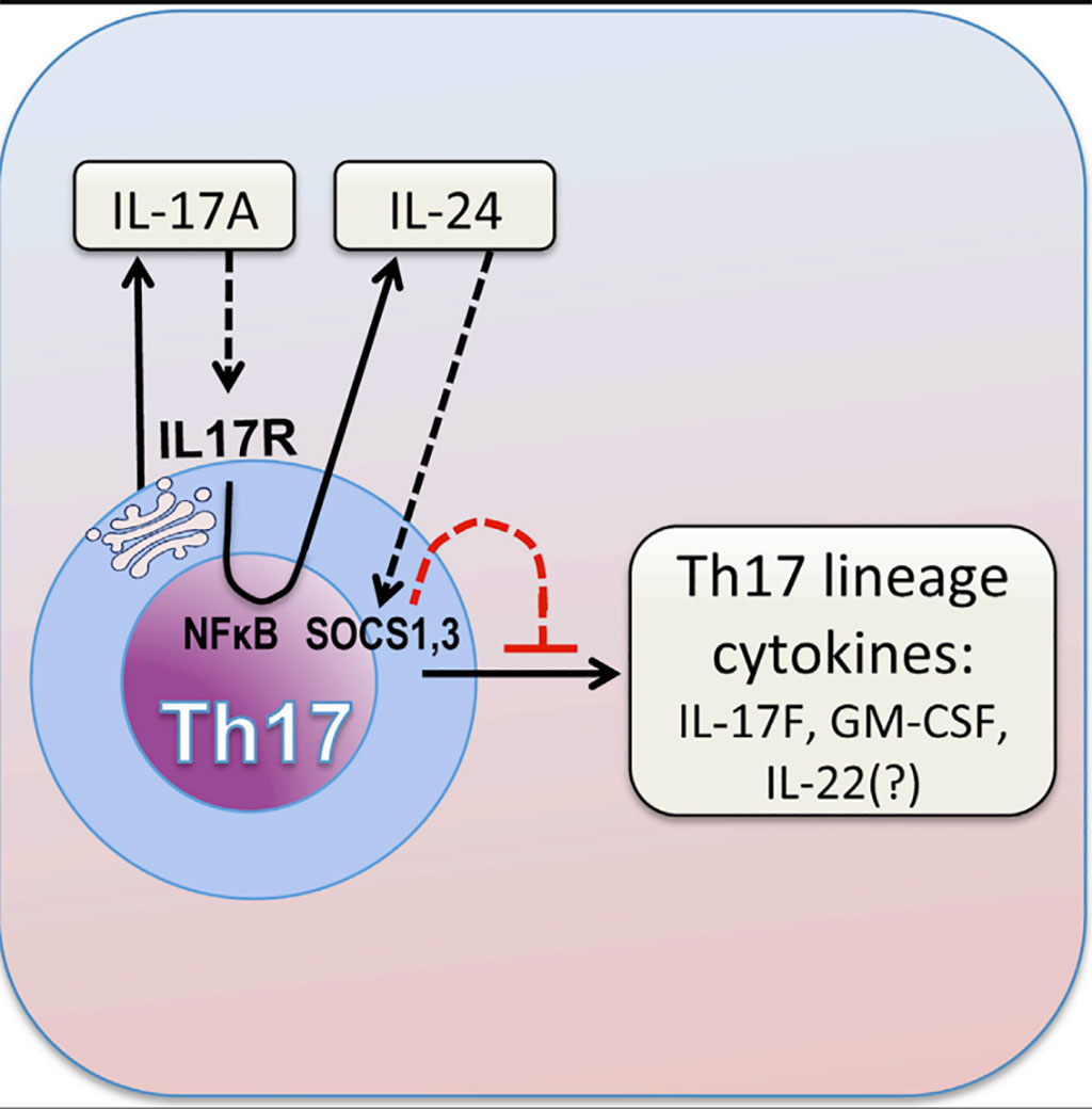 Image: Graphic diagram of how the cytokine IL-17A limits Th17 pathogenicity via a negative feedback loop driven by autocrine induction of IL-24 (Photo courtesy of the US National Eye Institute).
