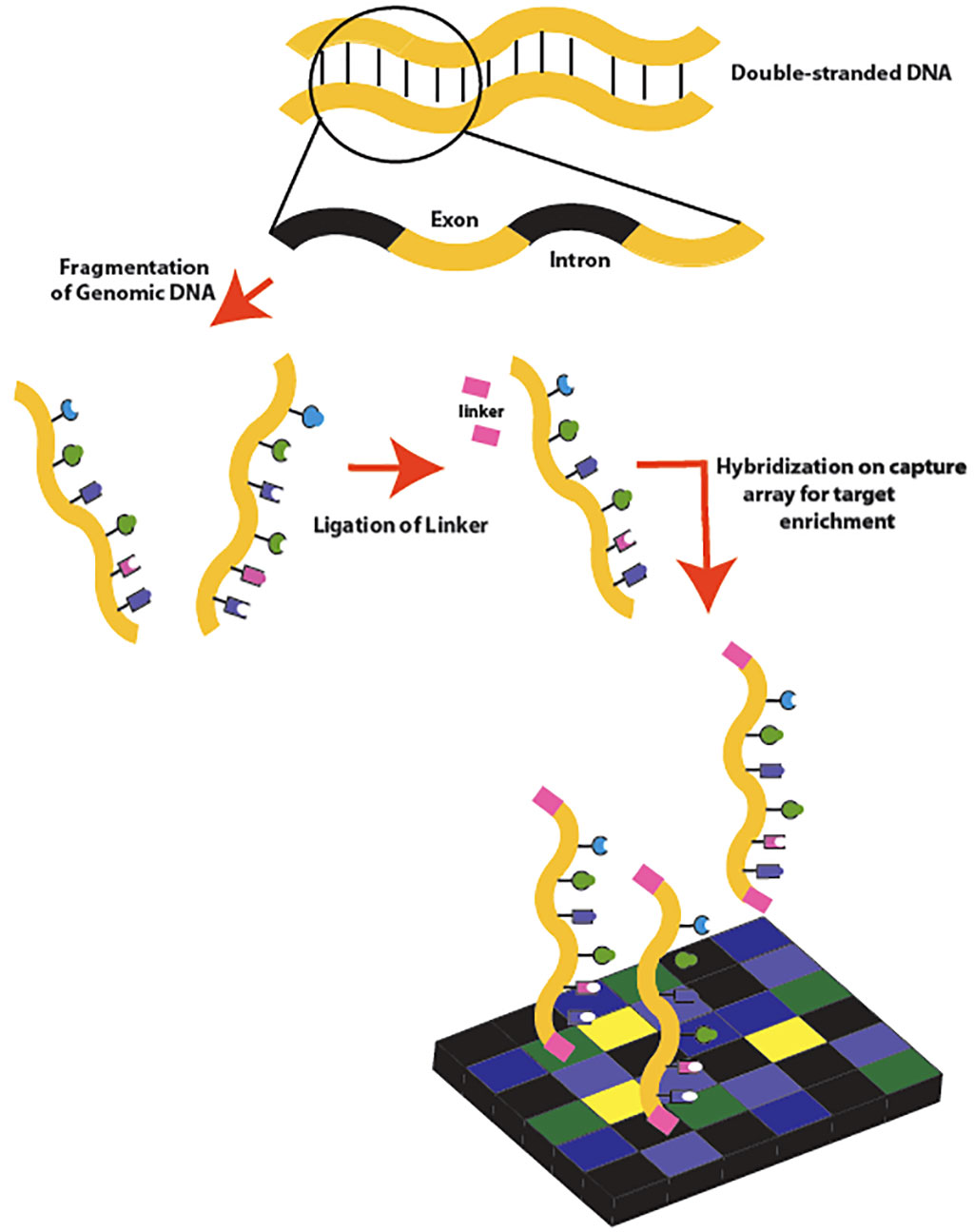 Image: Exome sequencing workflow: Double-stranded genomic DNA is fragmented by sonication. Linkers are then attached to the DNA fragments, which are then hybridized to a capture microarray designed to target only the exons (Photo courtesy of SarahKusala).