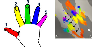 Image: Research has shown that the human brain keeps a detailed fingerprint of a lost hand and fingers for decades after amputation (Photo courtesy of the University of Oxford).