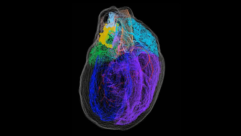 Image: Nerve cells (yellow) cluster around the top of the 3D reconstructed rat heart (Photo courtesy of S. Achanta et al/ iScience)