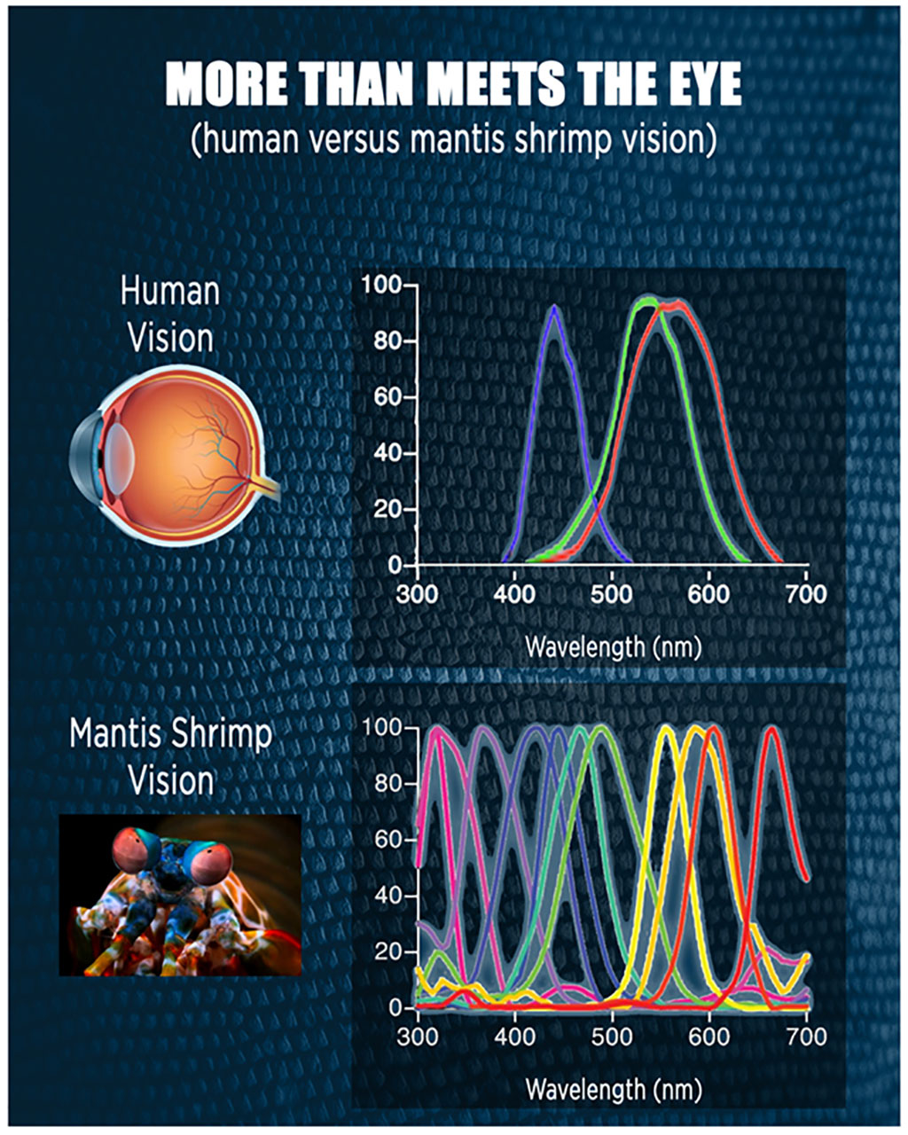 Image: Mantis shrimp can perceive a wider range of colors than humans (Photo courtesy of UIL)