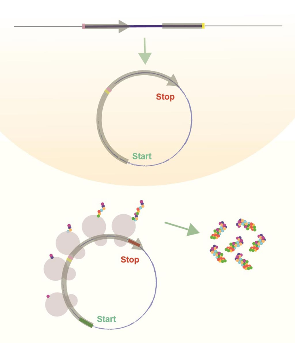 Image: Circular RNAs (circRNA) are produced in the cell nucleus after they are copied from the DNA and closed. Some circRNAs are translated and produce protein once they are exported from the nucleus (Photo courtesy of Dr. Sebastian Kadener, Hebrew University of Jerusalem).