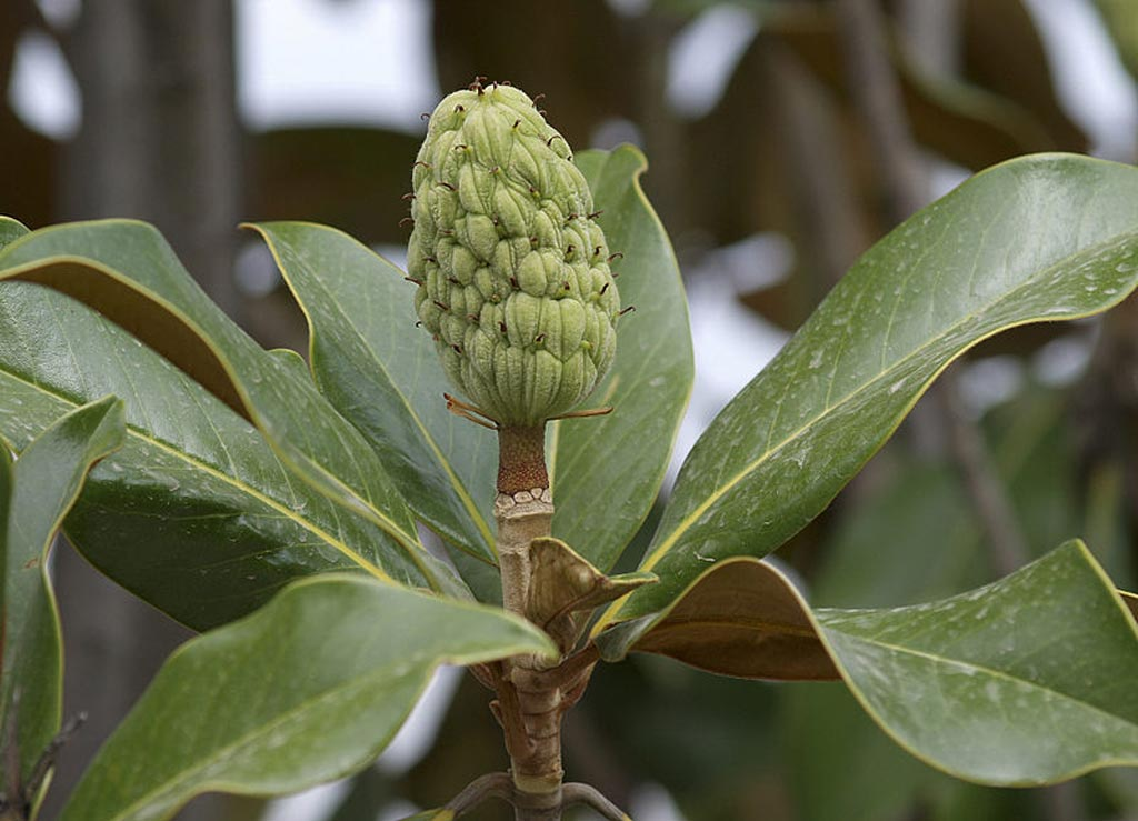 Image: A Magnolia grandiflora seed cone, a primary source of honokiol (Photo courtesy of Wikimedia Commons).
