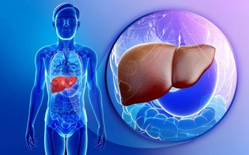 Imagen: Un nuevo estudio determinó que los hongos intestinales pueden contribuir al desarrollo de la enfermedad hepática alcohólica (Fotografía cortesía de Shutterstock).