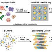 Imagen: Diagrama de la plataforma Seq-Well de bajo costo para la secuenciación de ARN de una sola célula (Fotografía cortesía de Shalek Lab).