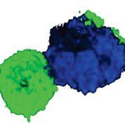 Imagen: Una imagen reconstruida en 3D de un doblete de una célula T (CD3, verde) y un monocito (CD14) (Fotografía cortesía del Instituto de Inmunología de La Jolla).