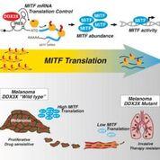 Imagen: Un diagrama de cómo la helicasa ARN DDX3X, ligada a X, dicta la reprogramación de la traducción y la metástasis en el melanoma (Fotografía cortesía de la Universidad de Lund).