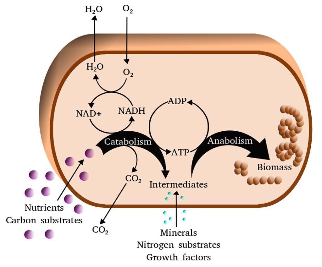 Imagen: Una vista simplificada del metabolismo celular (Fotografía cortesía de Wikimedia Commons).