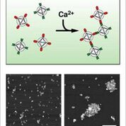 Imagen: Agregación de nanopartículas en presencia de calcio; partículas del sensor en ausencia (I) o presencia (D) de calcio (Fotografía cortesía de Alan Jasanoff / MIT).