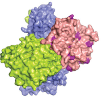 Image: Molecular model of the liver kinase b1 (LKB1) enzyme encoded by the STK11 gene. Cancer causing mutations present on the LKB1 surface are colored purple (Photo courtesy of Wikimedia Commons).