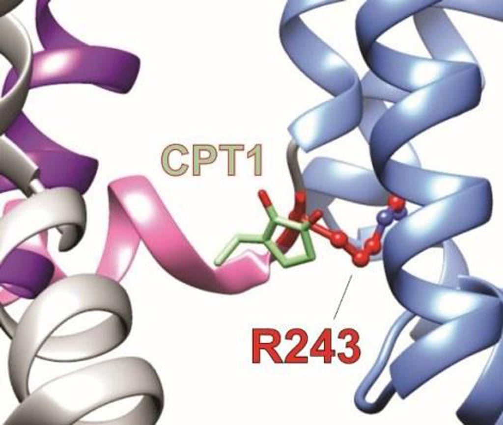 Image: Two components of Mallotus leaf extract bind to a previously unrecognized binding site on KCNQ1, a potassium channel essential for controlling electrical activity in many human organs. The image shows a computer model illustrating the novel herbal component, CPT1, an isovaleric acid molecule (green), occupying a novel binding site (R243, red) to activate KCNQ1 (Photo courtesy of Dr. Geoffrey Abbott, University of California, Irvine School of Medicine).