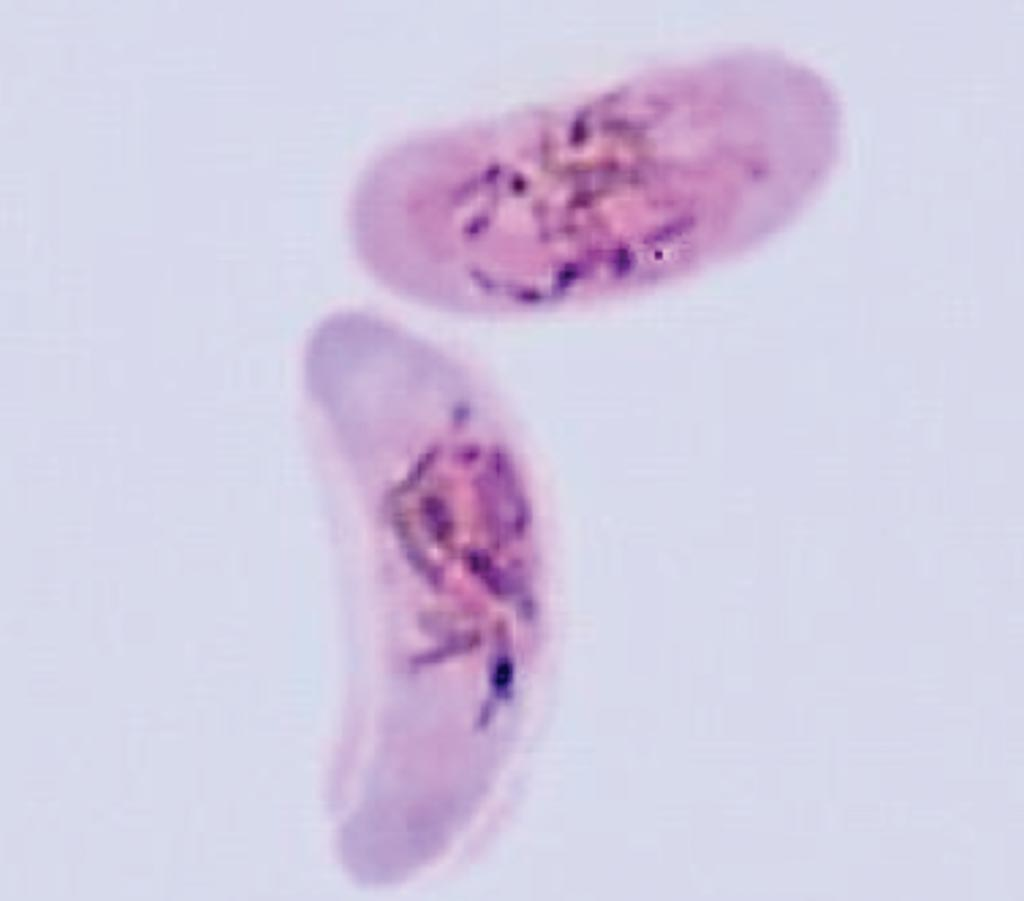 Image: A male and a female gametocyte of Plasmodium falciparum (Photo courtesy of Professor David Baker).