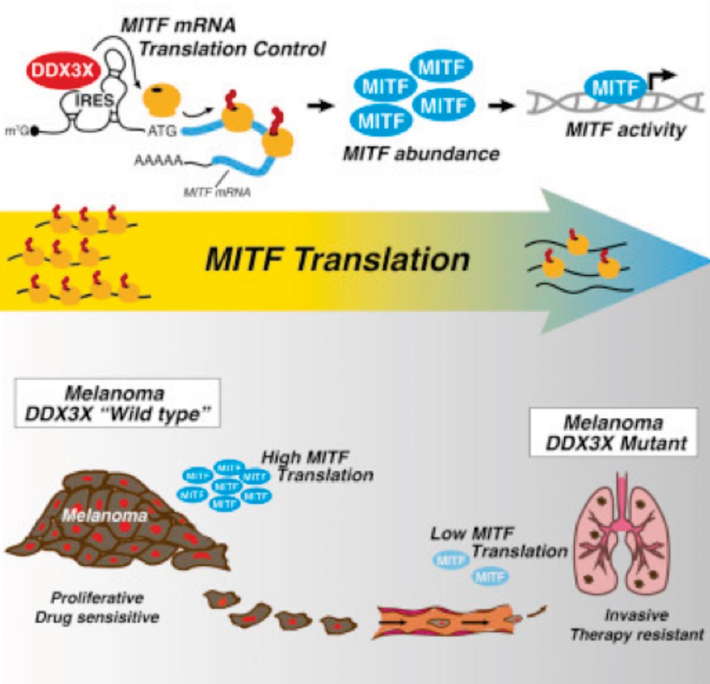 Image: A diagram of how the X-Linked DDX3X RNA helicase dictates translation reprogramming and metastasis in melanoma (Photo courtesy of Lund University).