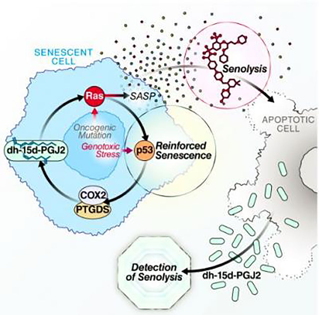 Image: Oxylipin biosynthesis reinforces cellular senescence and allows detection of senolysis (Photo courtesy of Dr. Christopher Wiley)