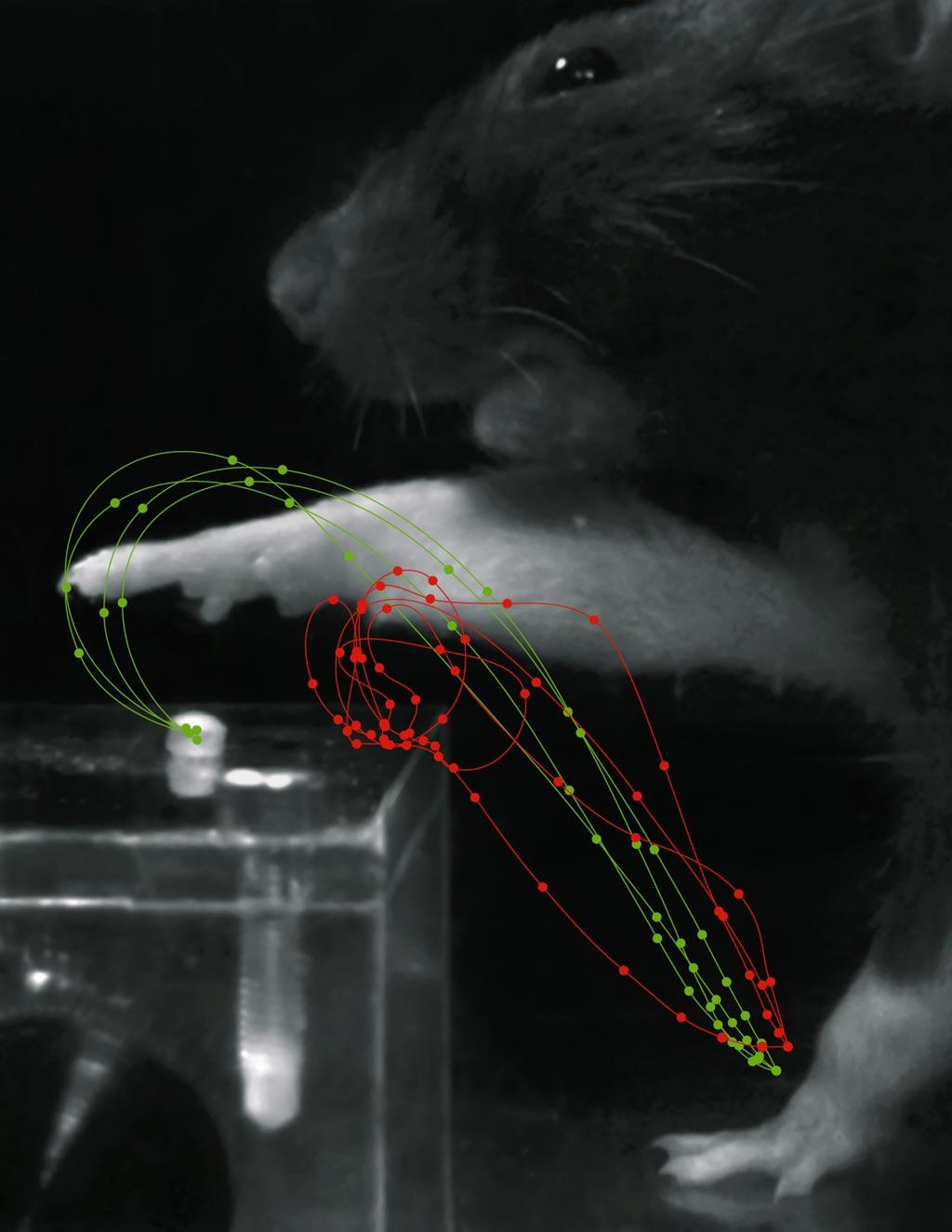 Красные траектории показывают движения захвата после инсульта, зеленые траектории – движения после реабилитации. Фото любезно предоставлено Табеа Краусом (Tabea Kraus) / ETH).