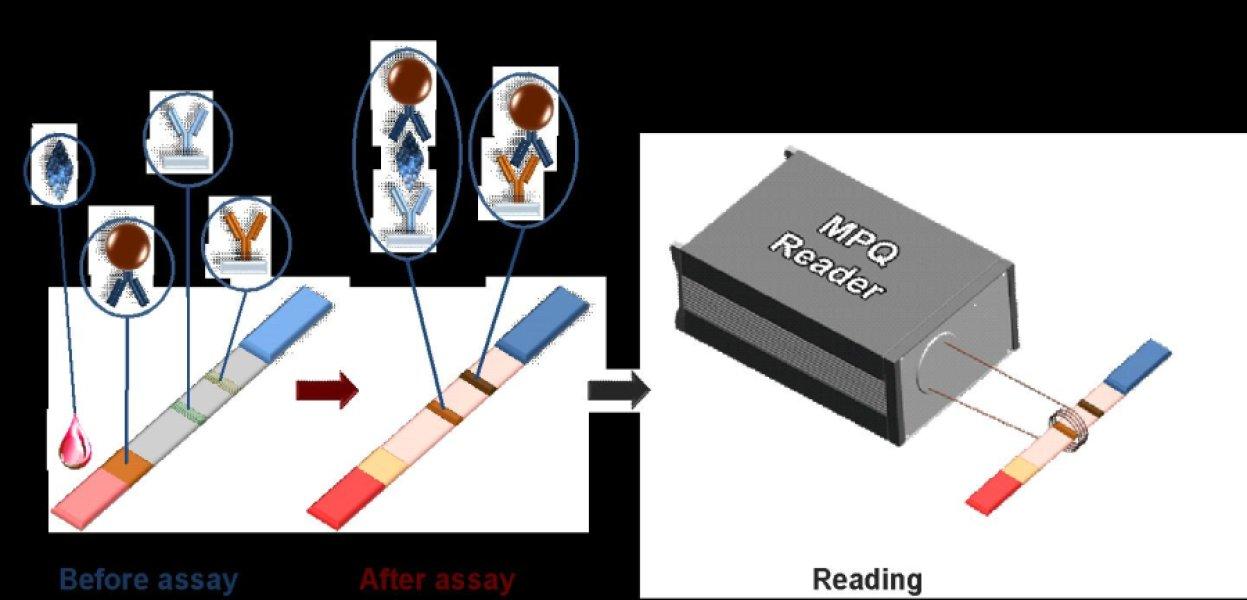 Схематическое изображение платформы магнитопорошкового подсчета: антиген –тестовый белок (например, ПСА). MP – магнитные наночастицы; Y вверх ногами – антитело к тестовому белку. Испытуемые антитела (синие Y) захватывают тестовый белок, а контрольные антитела (желтые Y) захватывают антитела с наночастицами (фото любезно предоставлено Московским физико-техническим институтом).
