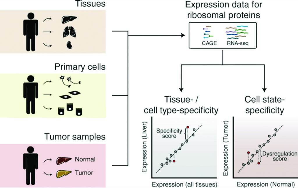 Оценка специфичности экспрессии рибосомных белков между человеческими тканями, первичными клетками и опухолями (фото любезно предоставлено биоцентром Базельского университета).