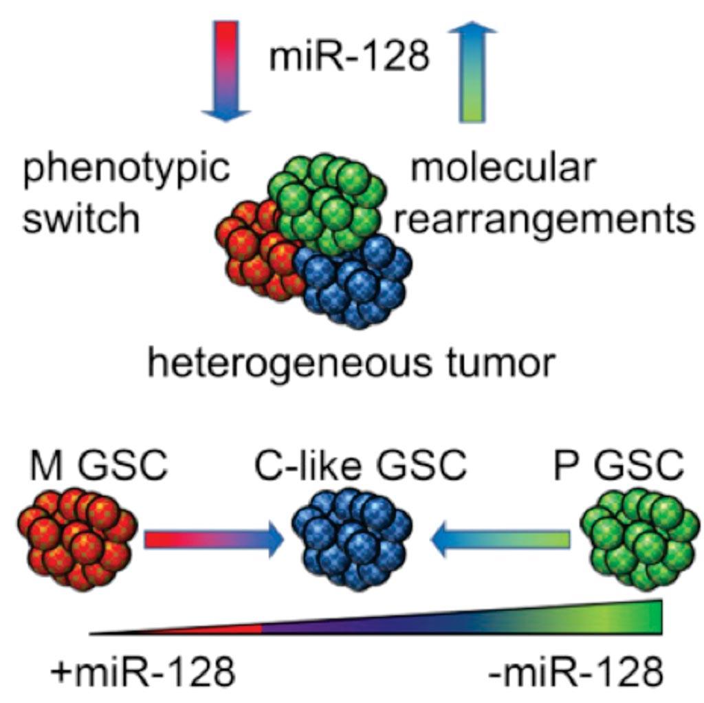 Диаграмма опосредованного РНК динамического двунаправленного сдвига между подклассами стволовых клеток глиобластомы (фото любезно предоставлено Brigham and Women\'s Hospital).