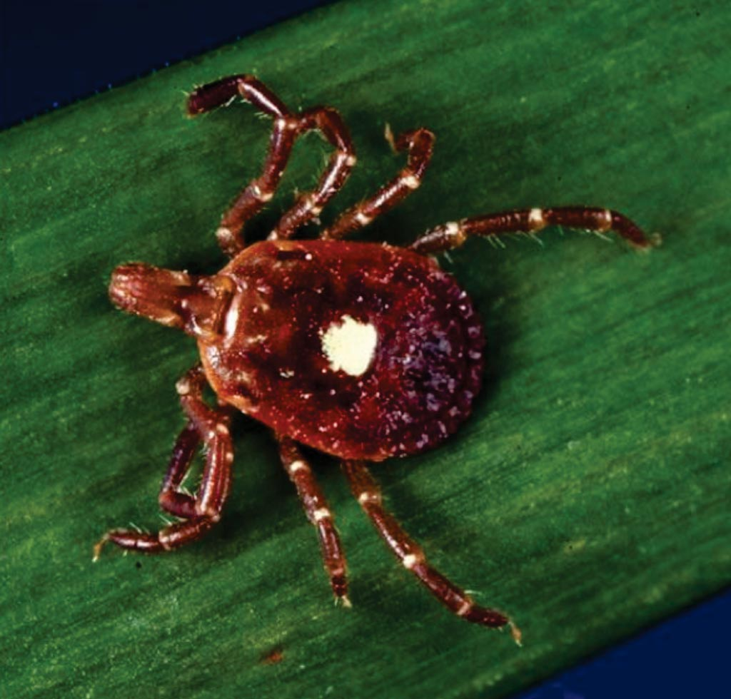 Иксодовый клещ Amblyomma (Amblyomma americanum), который может быть носителем вызываемого клещом сыпного заболевания, распространенного в южных областях (фото любезно предоставлено Центрами по контролю и профилактике заболеваний).
