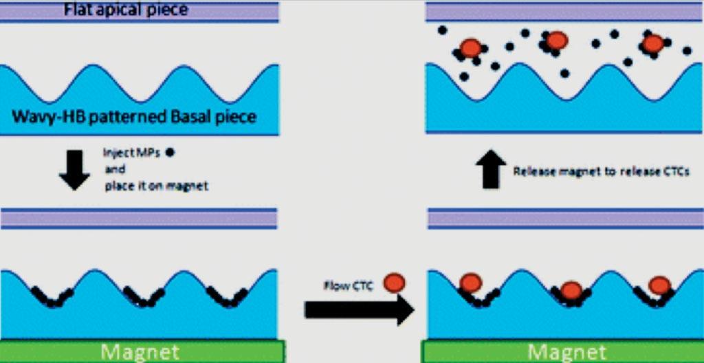 Диаграмма микрожидкостного устройства, в котором используются магнитные частицы и волнисто-шевронная конструкция для захвата и высвобождения циркулирующих опухолевых клеток (фото любезно предоставлено Лихайским университетом).