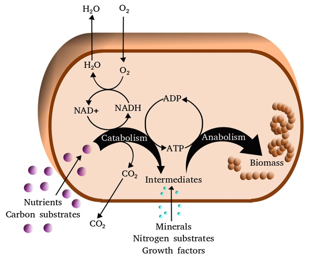 Упрощенная схема клеточного метаболизма (фото любезно предоставлено Wikimedia Commons).